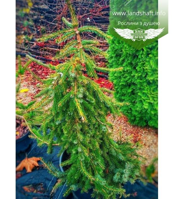 Picea omorika 'Pendula Bruns', Ялина сербська 'Пендула Брунс'