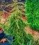 Picea omorika 'Pendula Bruns' Ялина сербська 'Пендула Брунс'