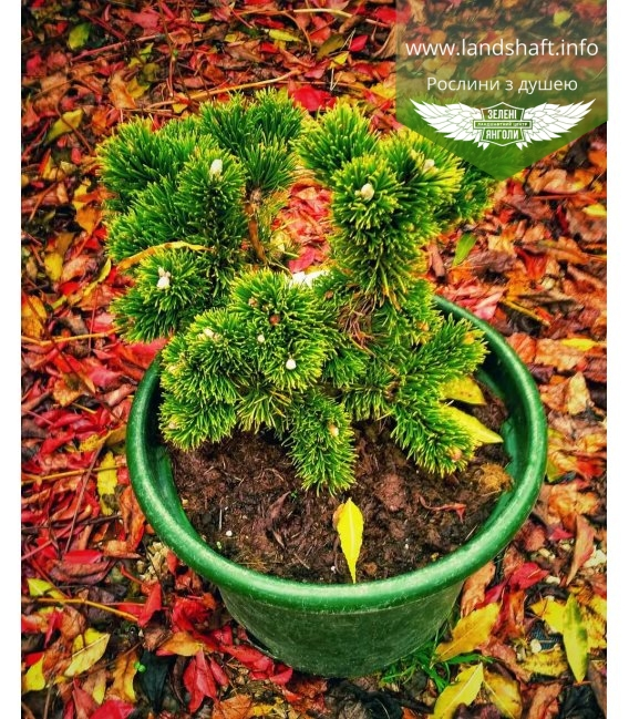 Pinus mugo 'Jakobsen' Сосна горная 'Якобсен'