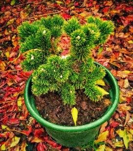 Pinus mugo 'Jakobsen' Сосна гірська 'Якобсен'