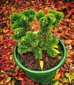 Pinus mugo 'Jakobsen', Сосна горная 'Якобсен'