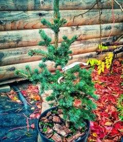 Picea pungens 'Lucky Strike', Ялина блакитна 'Лакі Страйк'