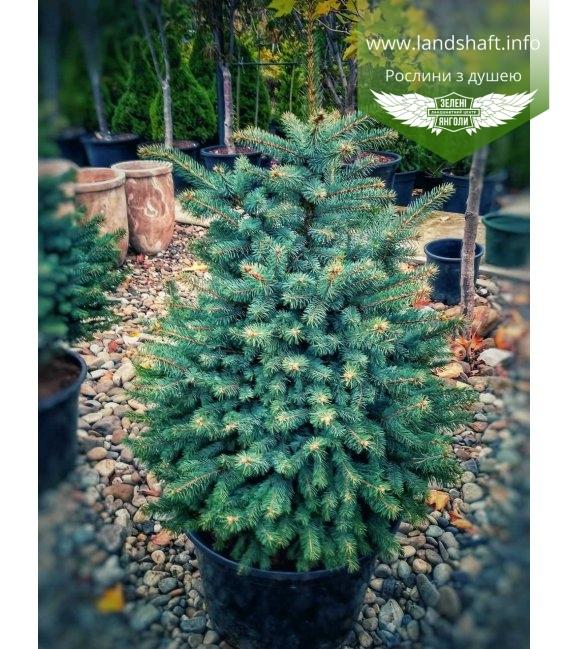 Picea pungens Ель голубая