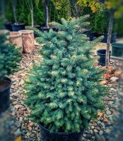 Picea pungens, Ель голубая