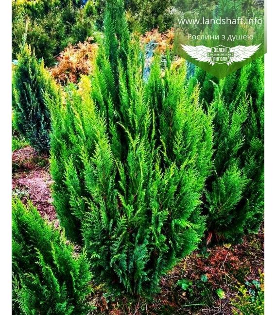 Chamaecyparis lawsoniana 'Erecta Viridis', Кипарисовик Лавсона 'Еректа Вірідіс'