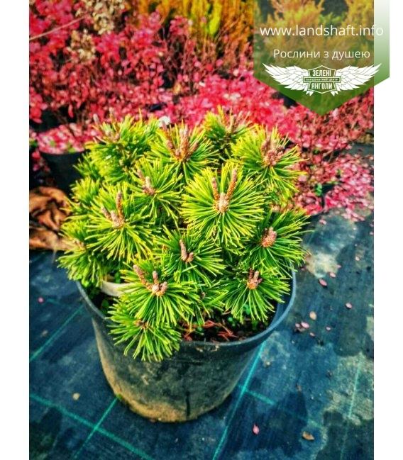 Pinus mugo 'Bozi dar' Сосна горная