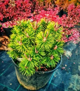 Pinus mugo 'Bozi dar', Сосна горная 'Божи Дар'