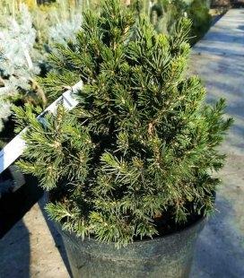 Picea abies 'Tompa' Ялина звичайна