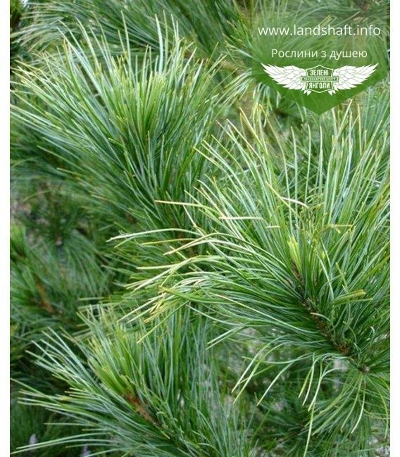 Pinus cembra Сосна кедровая европейская