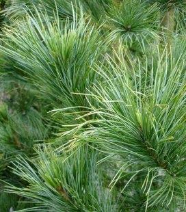 Pinus cembra, Сосна кедрова