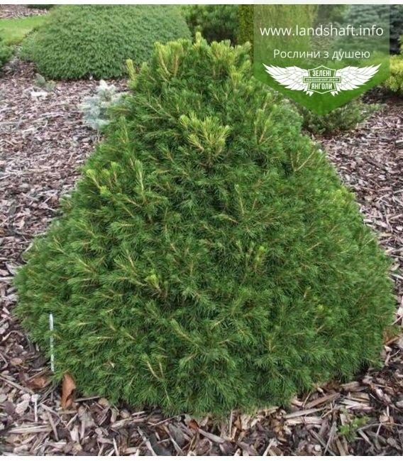 Picea abies 'Tompa', Ялина звичайна 'Томпа'