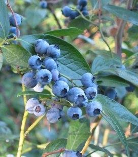 Vaccinium Corymbosum Черника щитковая