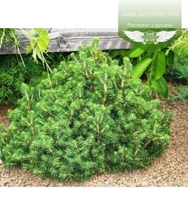 Picea abies 'Tompa' Ель европейская