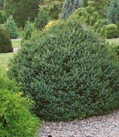 Picea omorika 'Nana', Ялина сербська 'Нана'