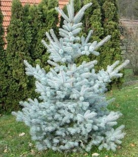 Picea pungens 'Edith', Ель голубая 'Эдит'