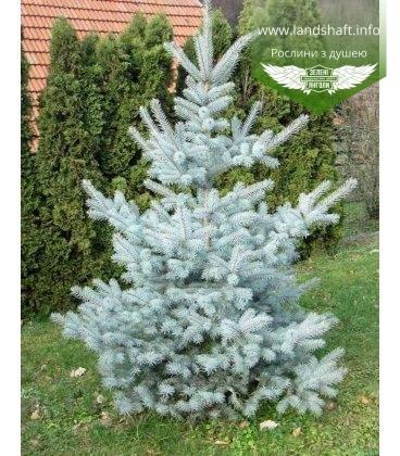 Picea pungens 'Edith' Ель колючая 'Эдит'