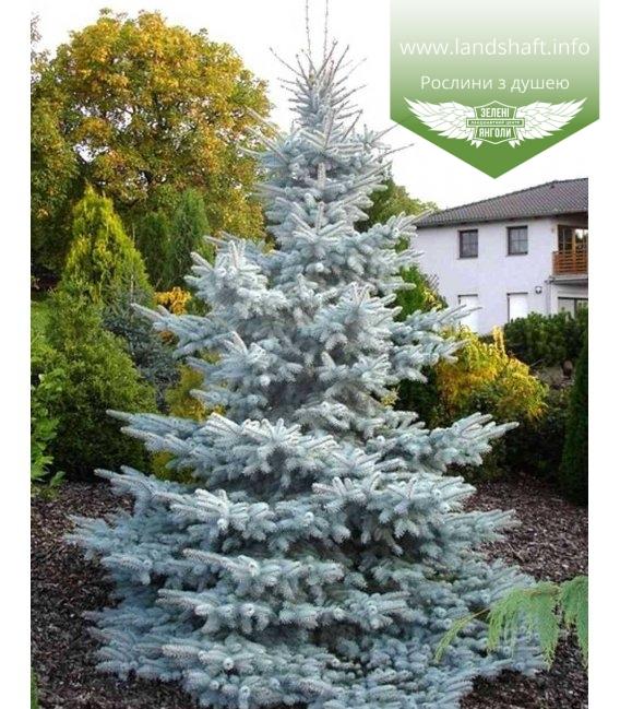 Picea pungens 'Hoopsii', Ялина блакитна 'Хупсі'