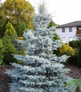 Picea pungens 'Hoopsii', Ель голубая 'Хупси'