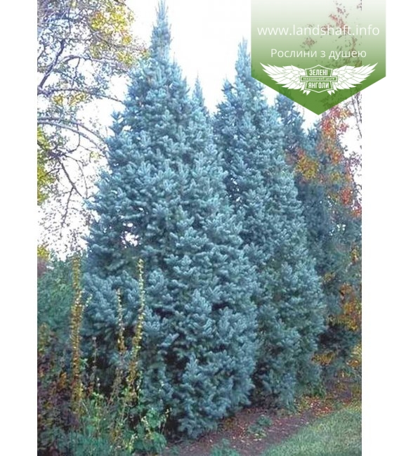 Picea pungens 'Iseli Fastigiate', Ялина блакитна 'Ізелі Фастігіате'