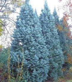 Picea pungens 'Iseli Fastigiate' Ель колючая 'Исели Фастигиата'