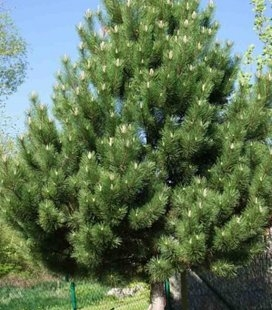 Pinus nigra austriaca, Сосна черная 'Аустрияка'