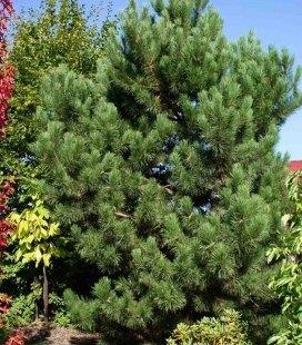 Pinus nigra var. austriaca, Сосна чорна 'Аустріяка'