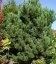 Pinus nigra austriaca Сосна чорна австрійська