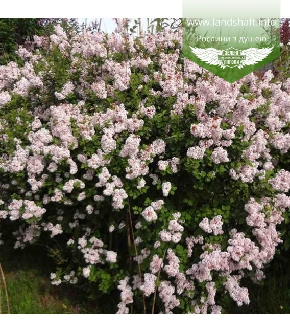 Syringa microphylla 'Josee' Сирень мелколистная 'Джози'