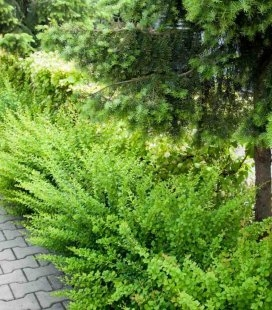 Berberis thunbergii 'Green Carpet' Барбарис Тунберга 'Грин Карпет'