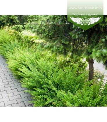 Berberis thunbergii 'Green Carpet', Барбарис Тунберга 'Грін Карпет'