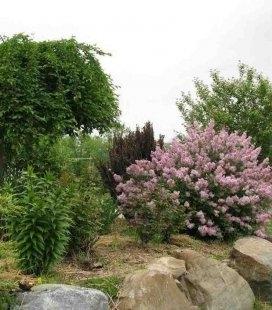 Syringa microphylla 'Josee', Сирень мелколистная 'Джози'