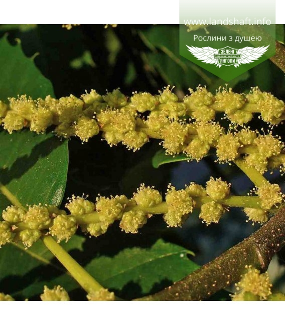 Castanea sativa, Каштан їстівний