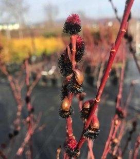 Salix gracilistyla 'Melanostachys', Верба тонкостовбурова чорноколосовидна