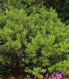 Верба gracilistyla 'Melanostachys', Верба тонкостовбурова чорноколосовидна