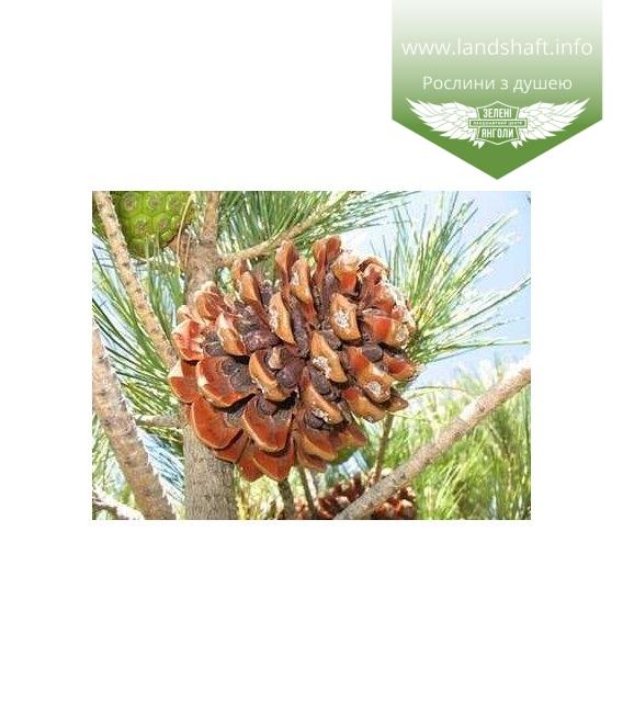 Pinus pinea Сосна итальянская
