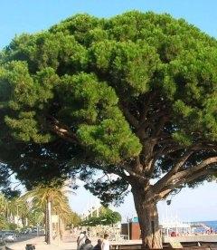 Pinus pinea, Сосна італійська