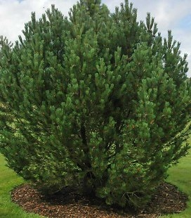 Pinus mugo uncinata, Сосна гірська гачкувата