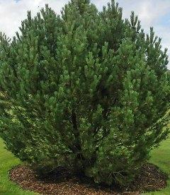 Pinus uncinata Сосна пиренейская