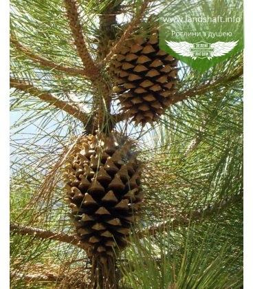 Pinus coulteri Сосна Культера