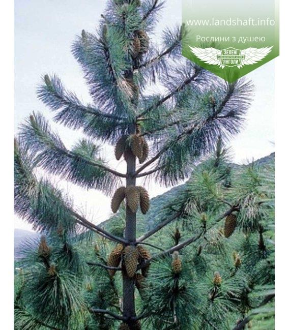 Pinus coulteri, Сосна Култера