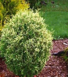 Thuja occidentalis 'Goldperle', Туя западная 'Голд Перл'