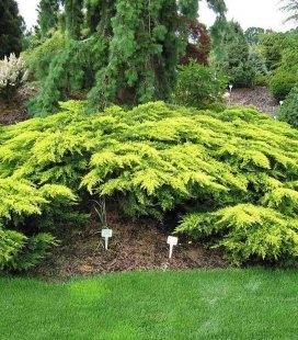 Juniperus x media 'Daub's Frosted', Можжевельник средний 'Дабс Фростед'