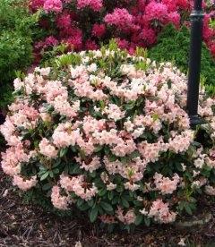 Rhododendron hybrida 'Flautando', Рододендрон гибридный 'Флаутандо'