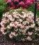 Rhododendron hybrida 'Flautando' Рододендрон гибридный 'Флаутандо'