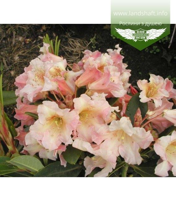 Rhododendron hybrida 'Flautando', Рододендрон гібридний 'Флаутандо'
