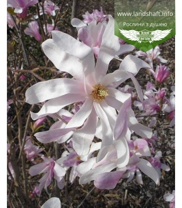 Magnolia stellata 'Rosea', Магнолія зіркова 'Розеа'