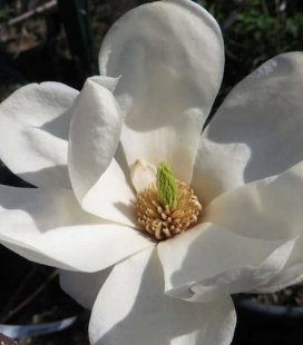 Magnolia denudata 'Double Diamond', Магнолія гола 'Дабл Діамант'