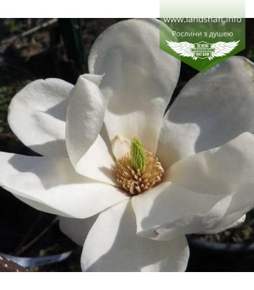 Magnolia denudata 'Double Diamond', Магнолія гола 'Дабл Діамант'