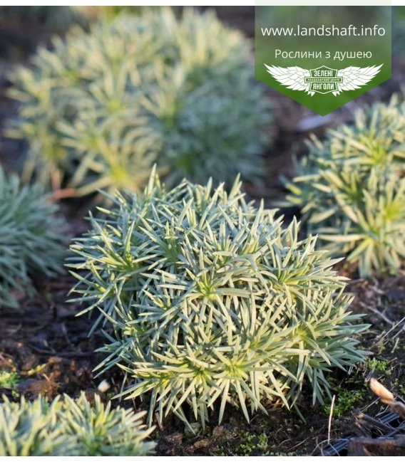 Armeria juniperifolia 'Lelekovice', Армерія дерниста 'Лелековіце'