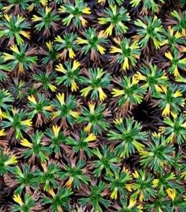 Azorella trifurcata, Азорелла тривильчата